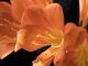 The Kaffir lilies on my balcony.